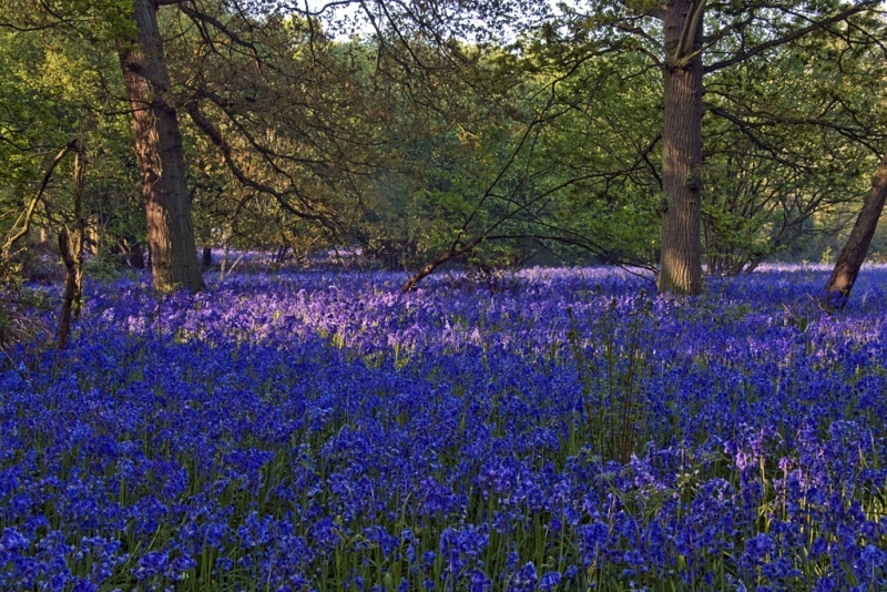 Bluebells at Hillhouse Wood