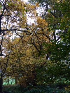 Canopy yellowing