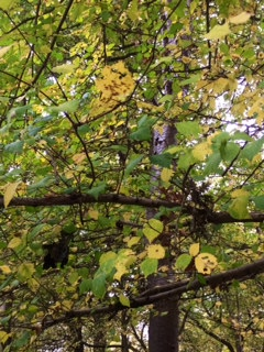 Leaves in the canopy turning yellow