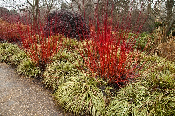 Red Stem Dogwood, available in Trees for Years 2016