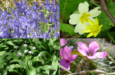 Wodland flowers to see on Spring Nature Walk
