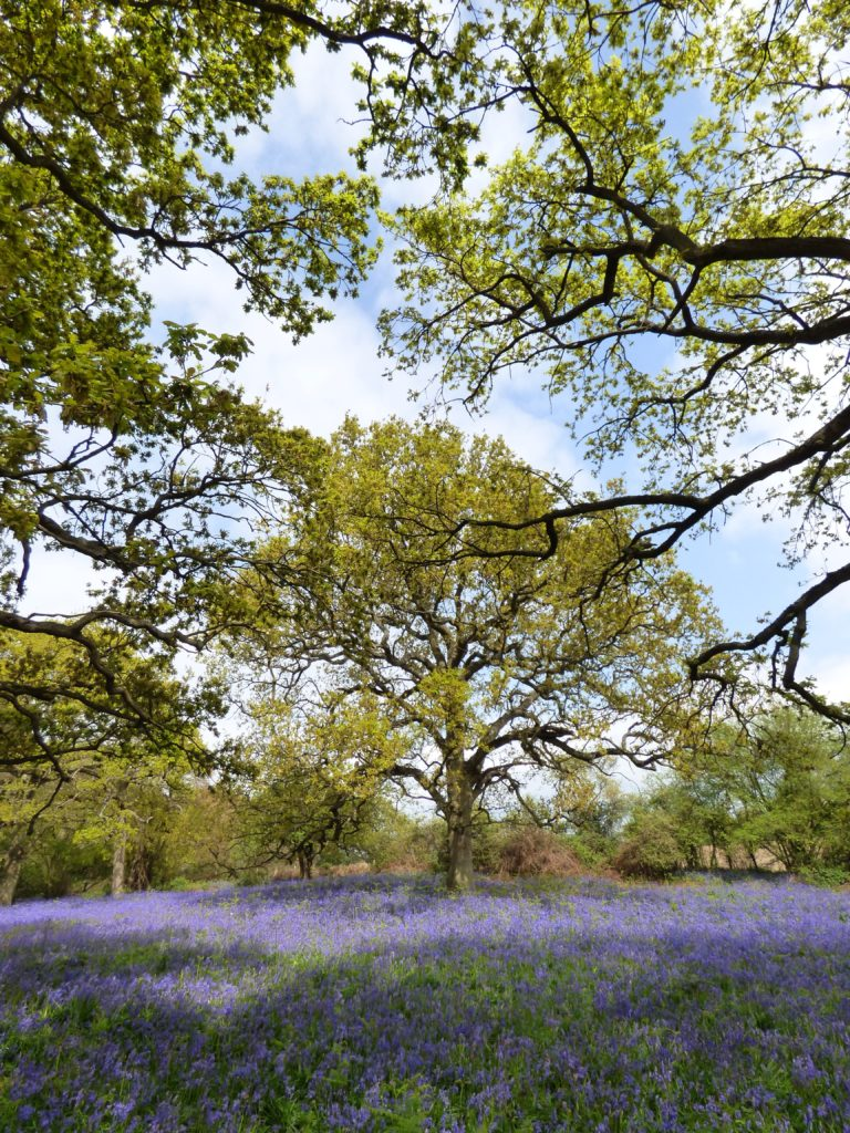 Bluebells in Hillhouse Wood