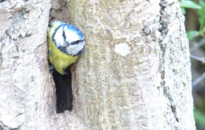 Early start to see a Blue Tit leaving nest hole